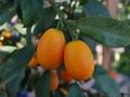 13_kumquat_0025